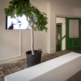 fig tree installation